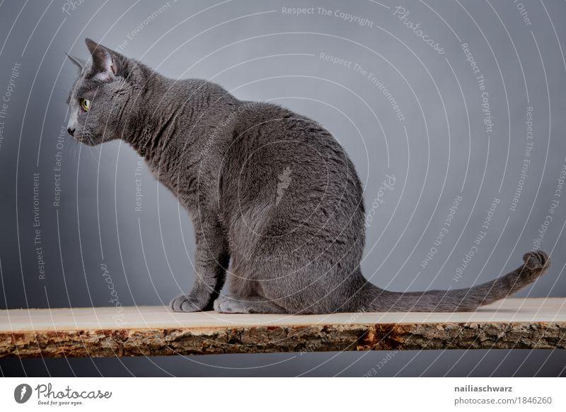 Russisch Blau elegant Tier Katze 1 Tisch Schneidebrett Holzbrett beobachten Blick sitzen kuschlig natürlich Neugier niedlich positiv schön Wärme weich blau grau