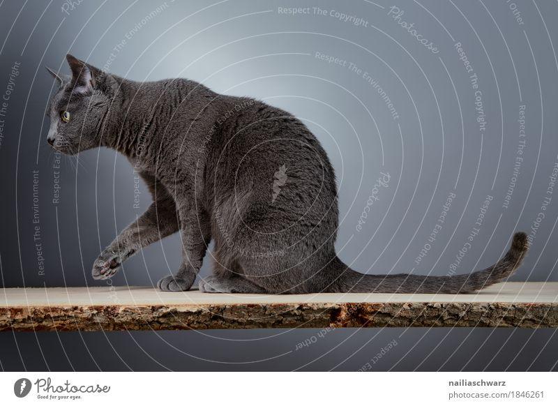 Russisch Blau Katze elegant Tier Haustier 1 ästhetisch russian blue cat silver grey housecat purebred slender portrait looking whole body Werkstatt Farbfoto