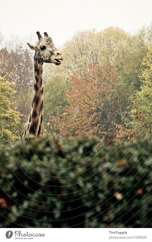 Gemeine Hessische Buschgiraffe Außenaufnahme Umwelt Natur Landschaft Pflanze Tier Herbst Park Wald Zoo Zoologie Blatt Sträucher Wildtier Tiergesicht Fell