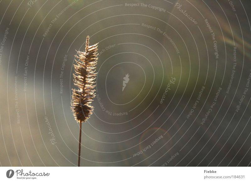 einsam Natur schön Pflanze Einsamkeit Umwelt Wiese Herbst hell Park Zufriedenheit Kraft gold elegant ästhetisch Sträucher einzigartig