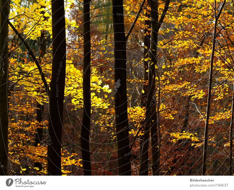 Im Herbstwald Natur schön Baum Sonne Pflanze ruhig Blatt Einsamkeit gelb Wald Holz Park Landschaft Stimmung