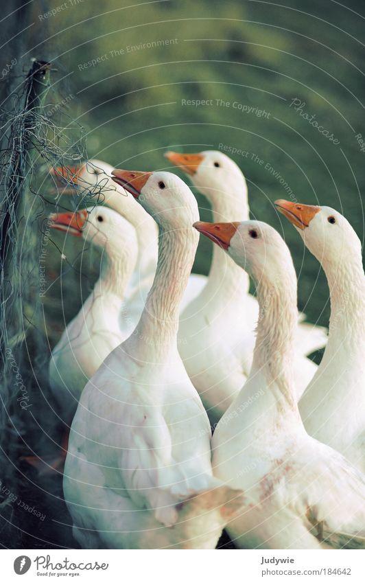 Warten auf Weihnachten Farbfoto Gedeckte Farben Außenaufnahme Menschenleer Textfreiraum oben Abend Tierporträt Jagd Winter Natur Herbst Nutztier Vogel Gans