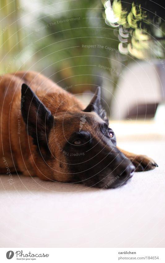Altersteilzeit... Hund Tier ruhig Erholung Traurigkeit träumen braun Zufriedenheit warten liegen Tiergesicht Langeweile Haustier Treue Siesta ausruhend
