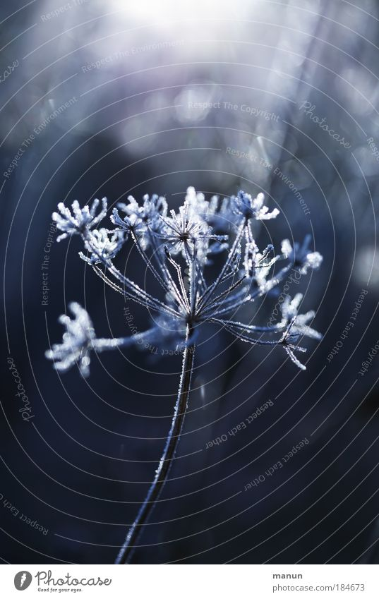 Raureif II Natur blau weiß Pflanze Sonne Winter ruhig kalt Schnee Herbst Gras Park Eis glänzend Nebel frisch