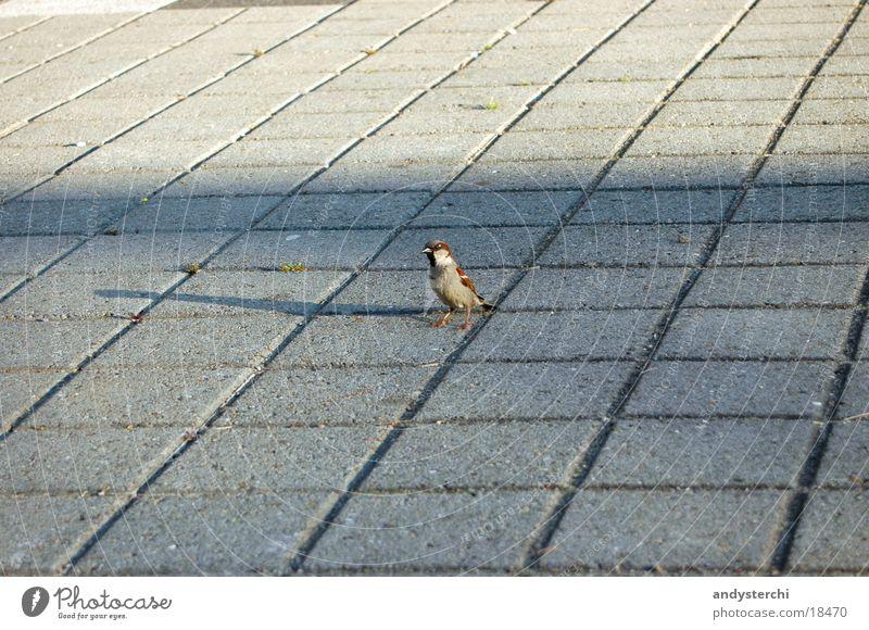 Piep Piep Piep, ich hab dich lieb! Vogel Tier Verkehr Spatz Bodenbelag Schatten laufen fliegen Flügel Bodenplatten