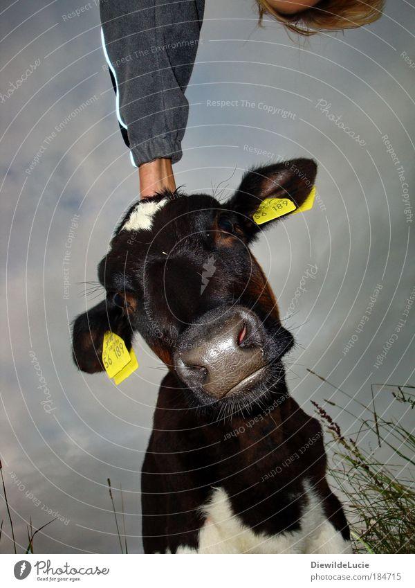 Wenn ich gekrault werde ..... Hand Auge Wiese Tier Zusammensein Rind Freundlichkeit Landwirtschaft Mensch Kuh Weide Schnauze Sympathie Kalb Zuneigung Nutztier