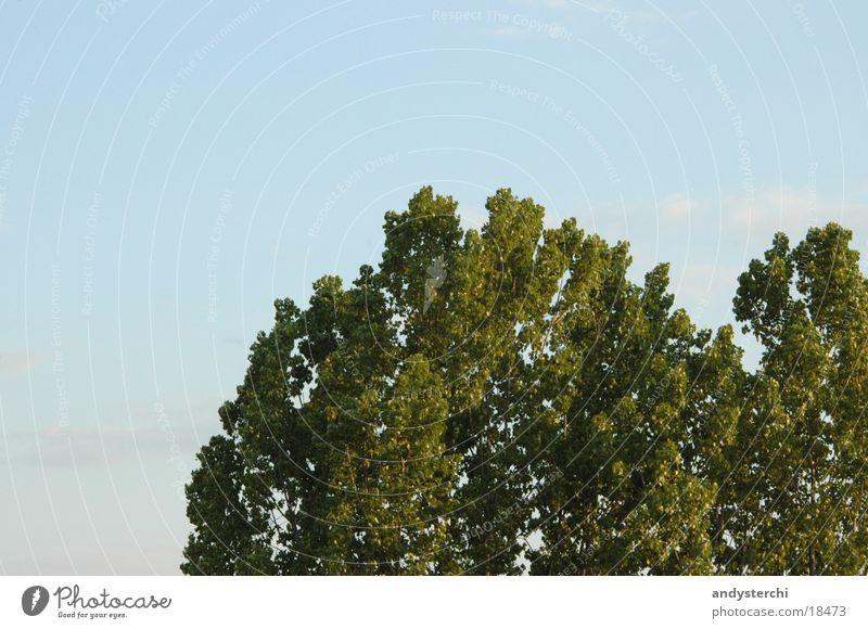 Krone Himmel blau grün Baum Spitze Baumkrone