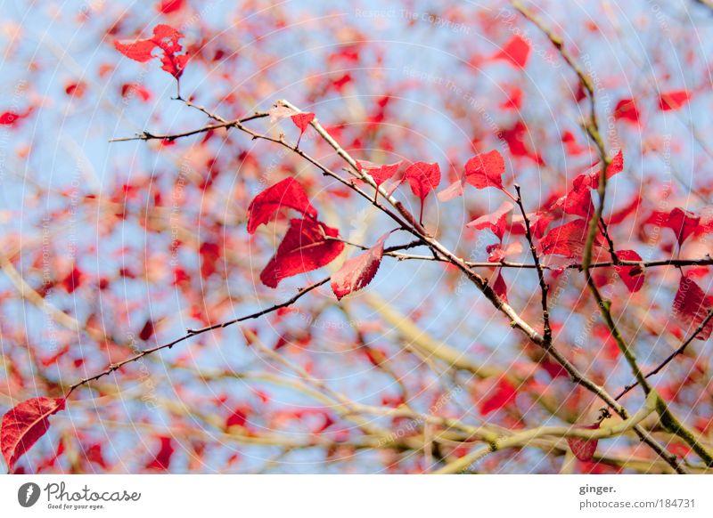 Herbstflitter Natur Himmel Schönes Wetter Baum Sträucher Blatt blau braun rot Zweige u. Äste verzweigt Licht hell fallen Jahreszeiten oben Herbstfärbung Geäst