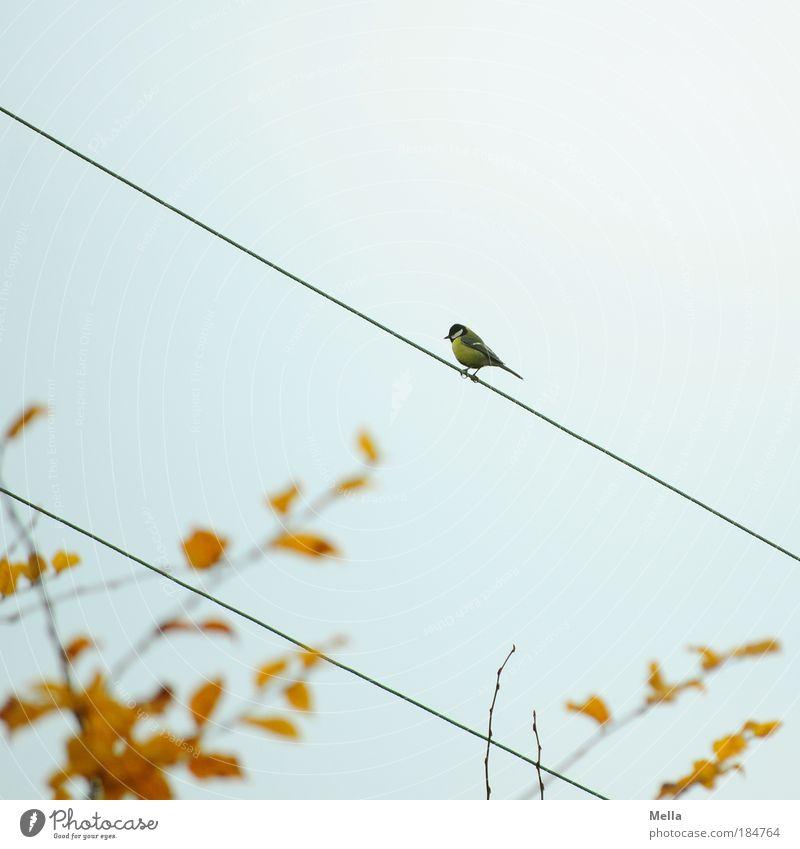 Meisenherbst Kabel Elektrizität Umwelt Natur Tier Himmel Herbst Blatt Vogel Kohlmeise 1 Linie hocken sitzen frei klein niedlich grau Einsamkeit Freiheit Ast
