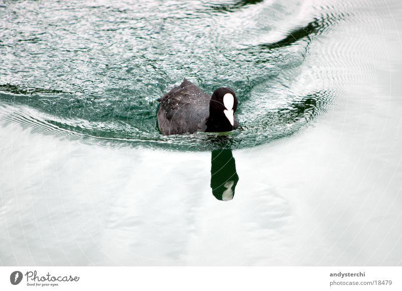 Taucherli Wasser schwarz kalt See Vogel Wellen Verkehr Teich Ente