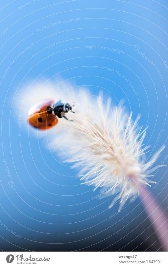 Leichtgewicht Tier Nutztier Wildtier Käfer Marienkäfer 1 krabbeln klein blau rot schwarz weiß Insekt Gras Halm winzig Farbfoto mehrfarbig Außenaufnahme