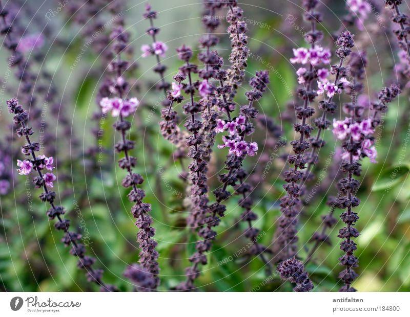 Lavandula angustifolia in quer Natur grün schön Pflanze Sommer Herbst Blüte Gras Gesundheit Fröhlichkeit Sträucher violett Blühend Kräuter & Gewürze Stengel