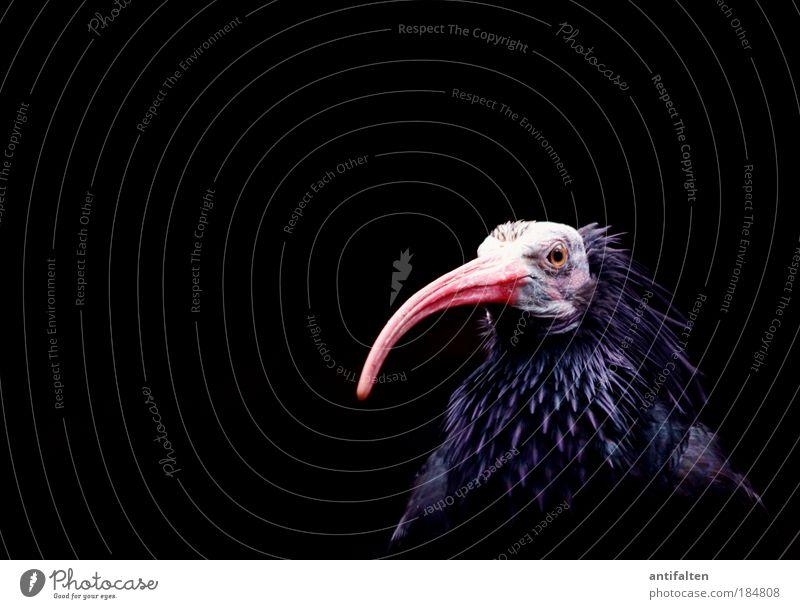 50 - Waldrapp blau rot schwarz Auge Tier dunkel Kopf Vogel glänzend rosa sitzen Blick Tiergesicht Feder Flügel Kontakt