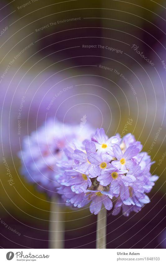 Kugelprimel (Primula denticulata) Natur Pflanze Frühling Blume Blüte Wildpflanze Topfpflanze Primelgewächse Kissen-Primel Frühblüher Garten Park Blumenstrauß