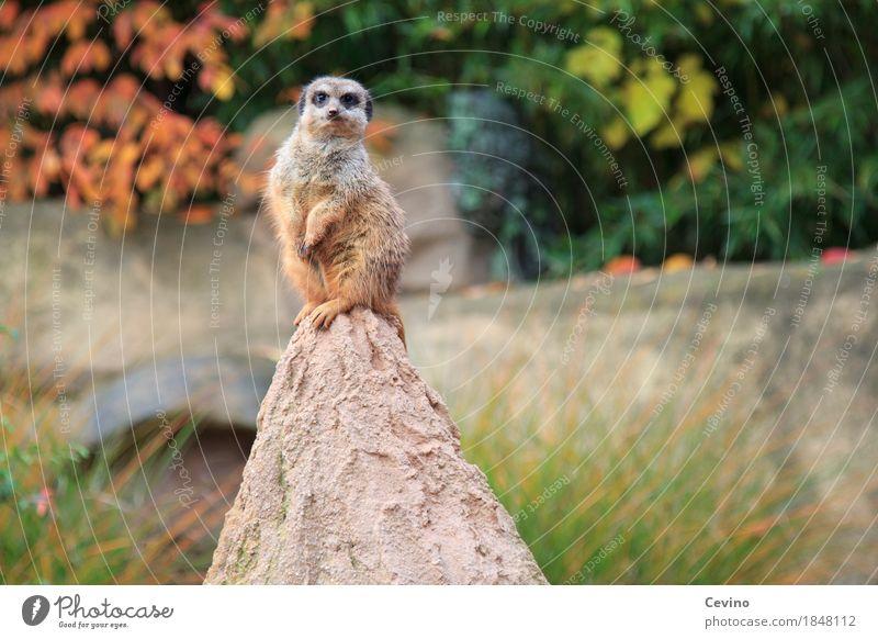 Frechdachs Natur Herbst Park Tier Wildtier Fell Pfote Zoo Erdmännchen 1 frech Neugier niedlich klug Zoologie Tiergarten Scharrtier Surikate Säugetier Manguste