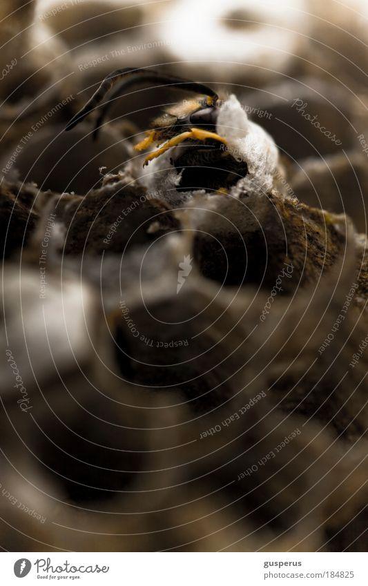 waspertine {2} Farbfoto Makroaufnahme Menschenleer Unschärfe Tierporträt Biene Wespen 1 Völker fleißig Nest bauen rennen klug gelehrt diszipliniert Ausdauer