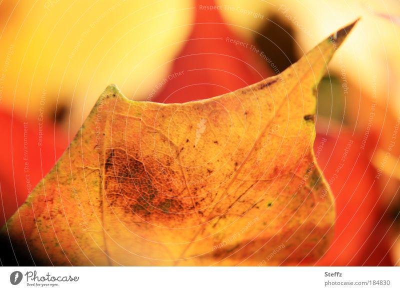 Ahornblatt in warmem Licht warmes Licht Herbstfarben Herbstwärme Herbstblatt Herbstromantik Herbstzauber Herbstimpression Herbststimmung leuchtende Farben gelb