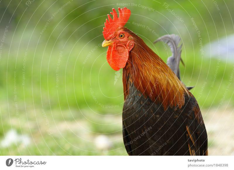 Nahaufnahme des bunten Hahns Fleisch elegant schön Mann Erwachsene Natur Tier Vogel stehen hell natürlich braun grün rot Stolz Farbe Federvieh Geflügel Hähnchen