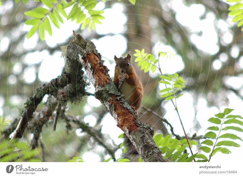 B-Hörnchen Baum Tier Wald Verkehr Ast Nagetiere