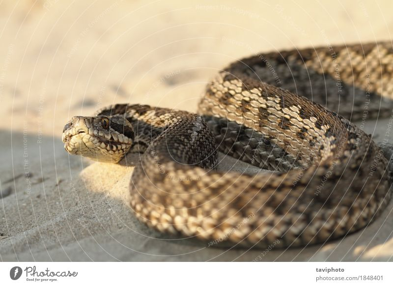 Nahaufnahme der weiblichen moldavischen Wiesenviper schön Frau Erwachsene Natur Tier Schlange gruselig natürlich wild braun Angst gefährlich Farbe Reptil Gift