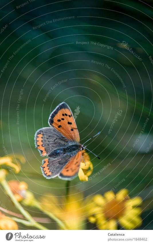 Lebenselixier | Nektar Natur Pflanze Tier Sommer Blume Wiese Schmetterling 1 Blühend Duft fliegen Fressen trinken ästhetisch schön braun gelb grün orange