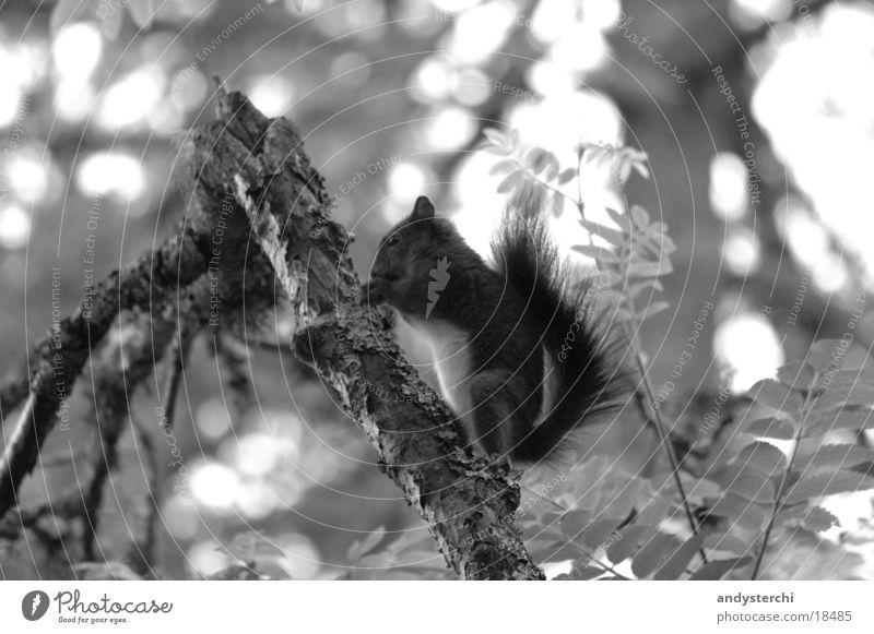 A-Hörnchen Baum Tier Wald Verkehr Ast Nagetiere