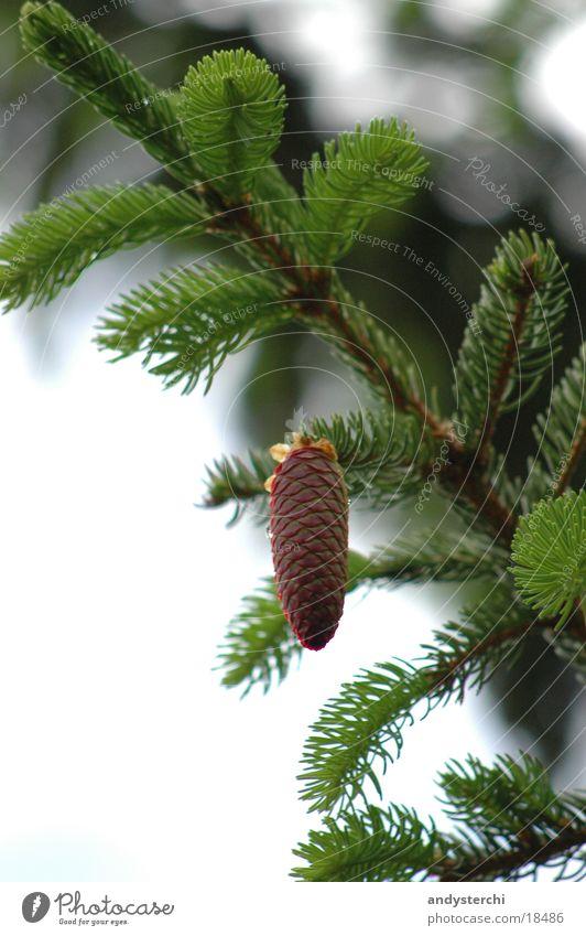 Zapfen und Baum Himmel Baum Wolken Tanne Tannennadel