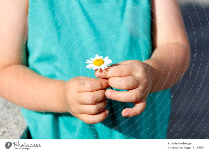 Small girl holds beautiful daisy into the camera schön Sommer Kleinkind Mädchen Hand Finger Blume niedlich mehrfarbig flower agriculture cultivation blue heaven