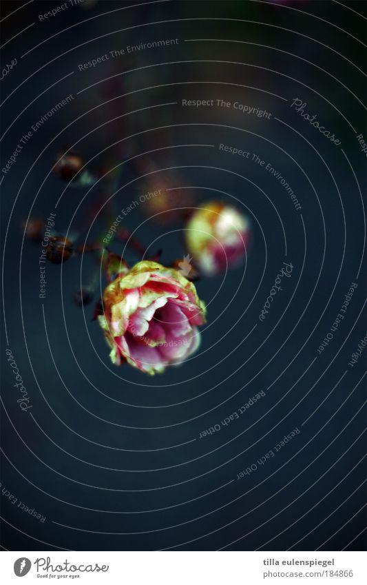 goes by Farbfoto Außenaufnahme Menschenleer Hintergrund neutral Natur Pflanze Winter Blume Rose Blüte Wiese verblüht dehydrieren natürlich blau rosa Farbe