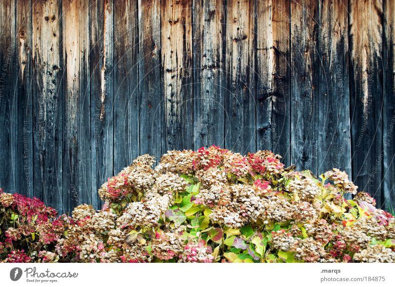 Trockenblumen Natur schön Blume Pflanze Herbst Wand Holz Mauer Fassade ästhetisch Wandel & Veränderung Vergänglichkeit einzigartig außergewöhnlich Blühend Duft