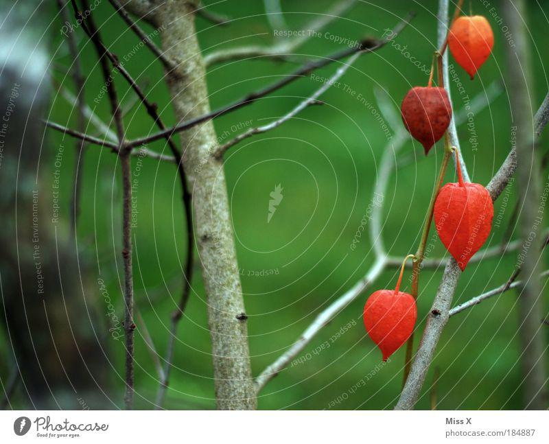 Lampions Natur Baum Blume Pflanze rot Sommer Farbe Herbst Blüte Garten Park Umwelt Sträucher Ast wild Reihe