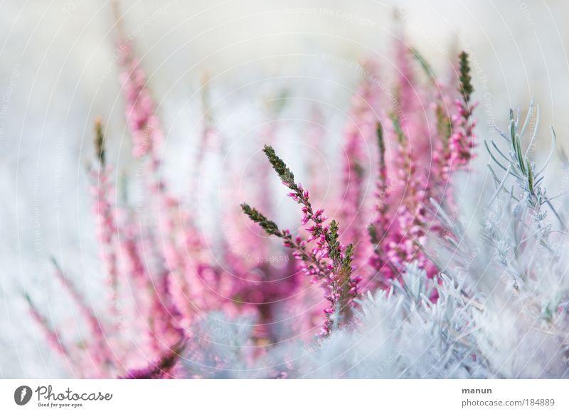 Calluna Natur Pflanze Winter Blüte Frühling hell rosa Design Park Makroaufnahme Wachstum frisch leuchten ästhetisch Sträucher violett
