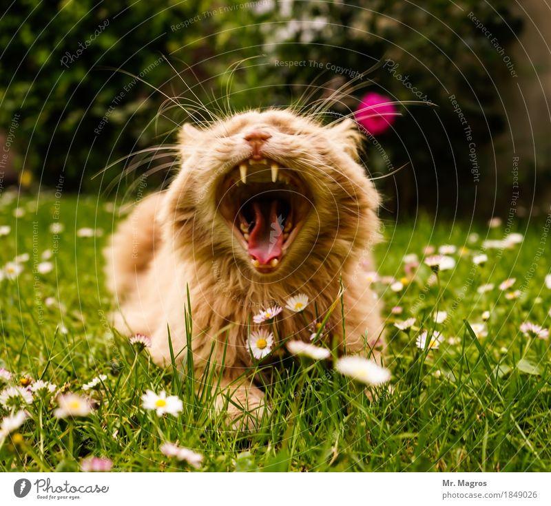 Kater Olli Katze Tier liegen Müdigkeit bequem Trägheit