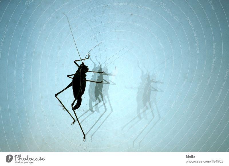 Erscheinungen blau Tier Fenster dreckig Glas sitzen paarweise Insekt Ekel Fensterscheibe Staub hocken Heuschrecke staubig Heimchen