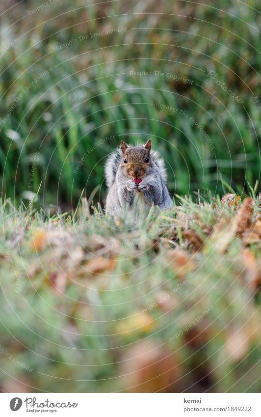 An apple a day Gesunde Ernährung Wohlgefühl Zufriedenheit Natur Pflanze Herbst Gras Blatt Park Wiese Tier Wildtier Tiergesicht Fell Pfote Eichhörnchen 1