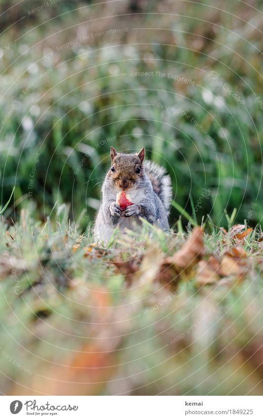 Winterspeck Apfelgeschmack Natur Pflanze Tier Umwelt Wiese Herbst natürlich Gras Frucht Ernährung Wildtier sitzen niedlich Freundlichkeit Neugier