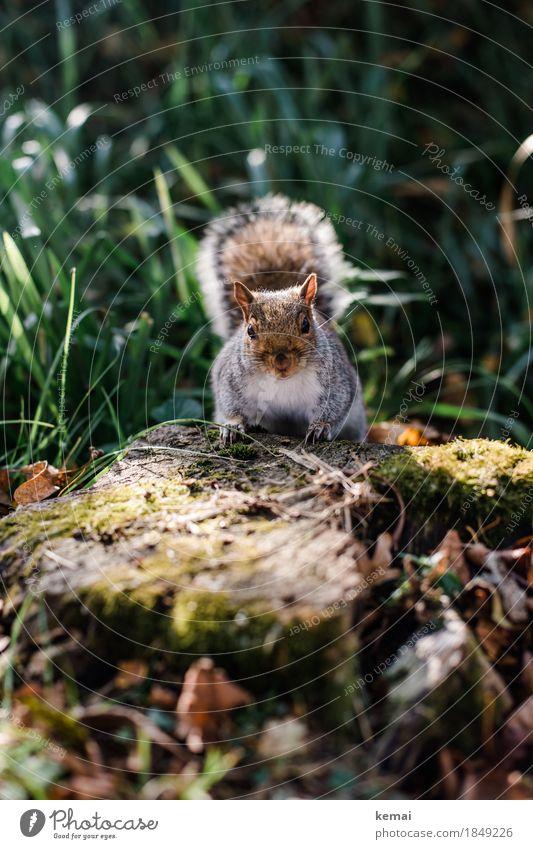 Hello. Umwelt Natur Pflanze Tier Frühling Schönes Wetter Gras Baumstumpf Park Wald Wildtier Tiergesicht Fell Eichhörnchen Schwanz 1 festhalten Blick sitzen