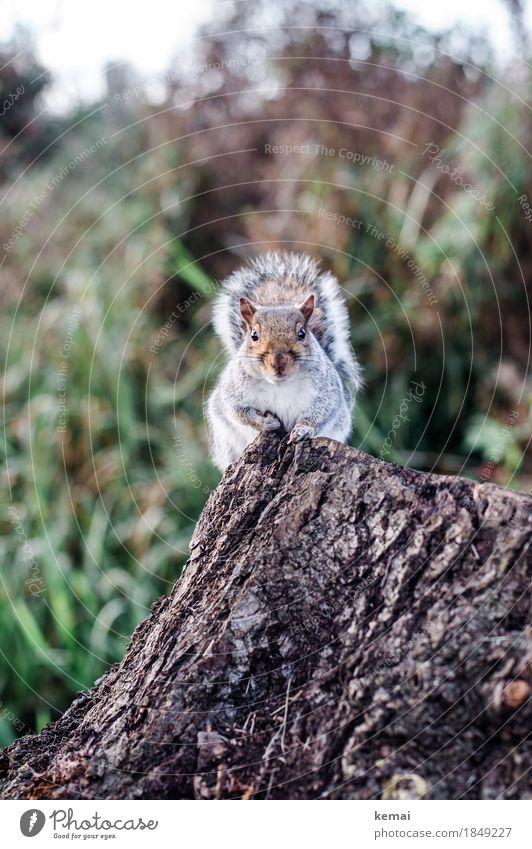 My name is Squirrel, Cyrill the Squirrel. Umwelt Natur Tier Herbst Baum Baumstumpf Baumrinde Park Wildtier Tiergesicht Fell Pfote Eichhörnchen 1 festhalten
