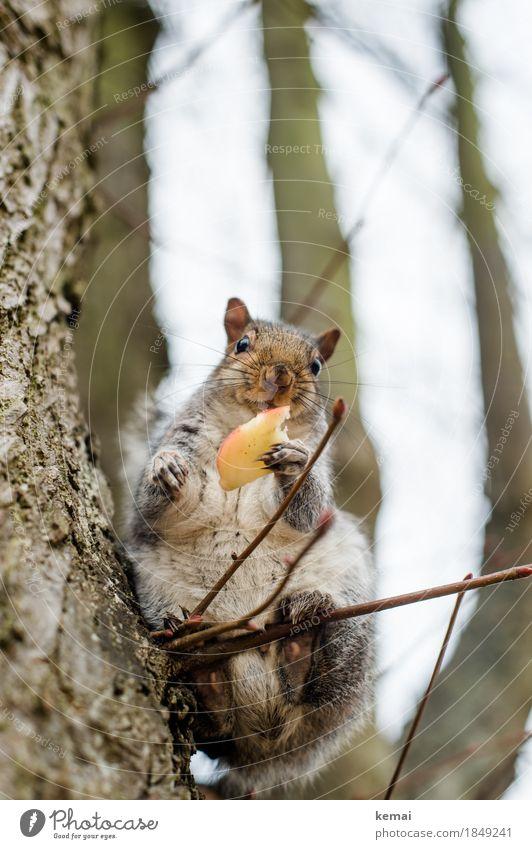 Thanks very much. Apfel Ernährung Umwelt Natur Tier Baum Zweig Park Wildtier Tiergesicht Fell Krallen Pfote Eichhörnchen 1 festhalten füttern Blick sitzen
