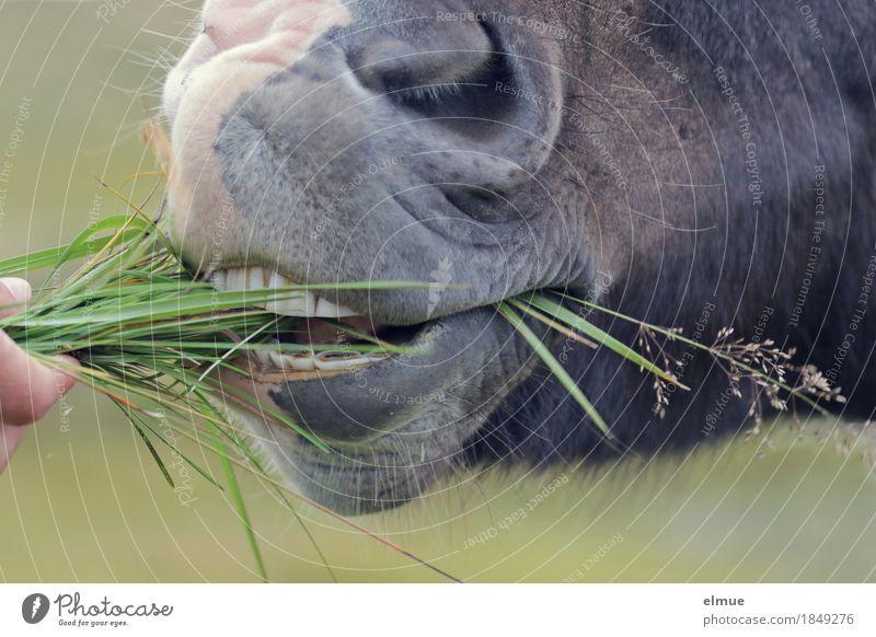 maulgerecht Gras Nutztier Pferd Island Ponys Maul Gebiss Nüstern mundgerecht Fressen füttern authentisch frech Glück Neugier Freude Zufriedenheit Vertrauen