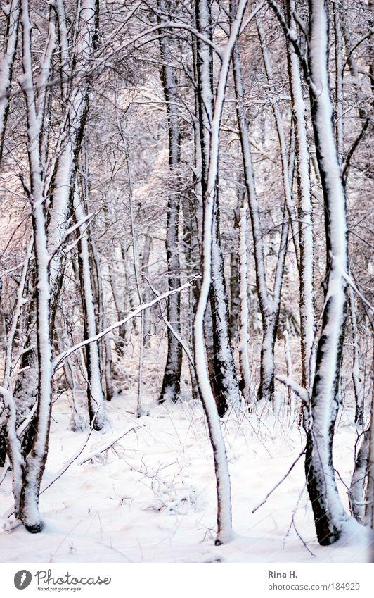Birken im Schnee Natur schön weiß Winter ruhig schwarz Einsamkeit Wald kalt Schnee Gefühle Landschaft Eis Linie Zufriedenheit Dämmerung