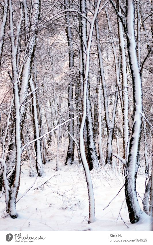 Birken im Schnee Natur schön weiß Winter ruhig schwarz Einsamkeit Wald kalt Gefühle Landschaft Eis Linie Zufriedenheit Dämmerung