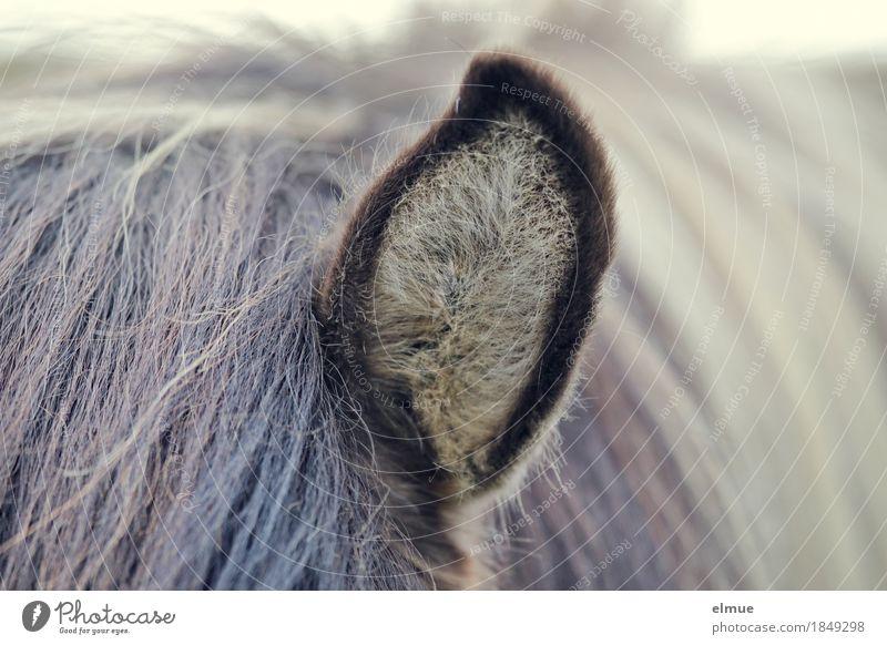 Radartüte Natur Kommunizieren weich Neugier Netzwerk Pferd Gelassenheit Kontakt Ohr Vertrauen Fell hören Partnerschaft Island Interesse