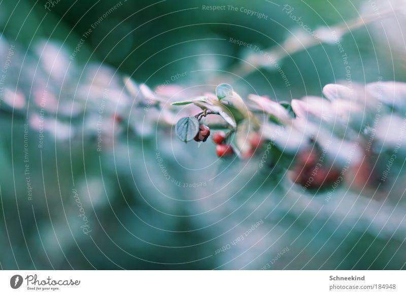Naturperle grün schön rot Pflanze Blatt Umwelt Landschaft Ernährung Wachstum ästhetisch Sträucher Idylle Blühend hängen Beeren