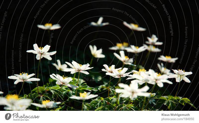 Sonnenhunger Umwelt Natur Pflanze Blume Blüte Wildpflanze Buschwindröschen Anemonen Blühend ästhetisch wild gold grün weiß Frühling Botanik Farbfoto