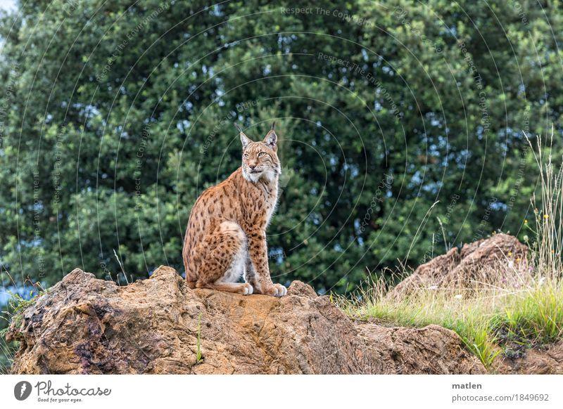 Mieze grün Baum Tier Wald Gras braun Felsen sitzen beobachten Fell Erinnerung Tiergesicht drehen Luchs