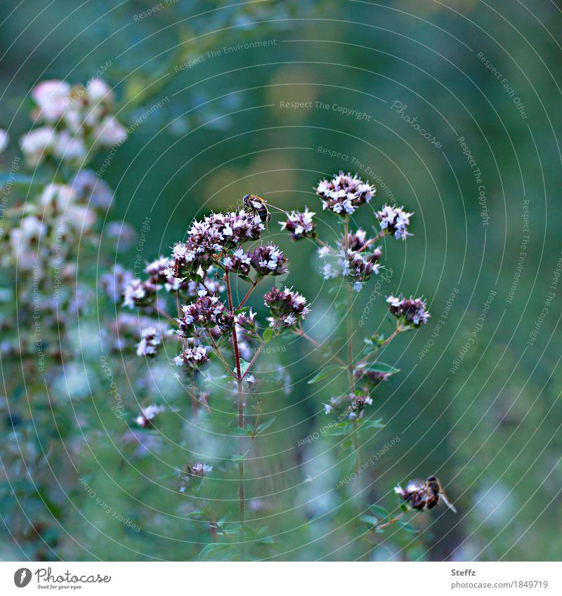 Nektarpflanze Verbena und die Bienen im Sommergarten Verbena bonariensis Eisenkraut Bienenweide Wildwuchs Heilpflanze Wildpflanze Nektarsuche Nektarsammler