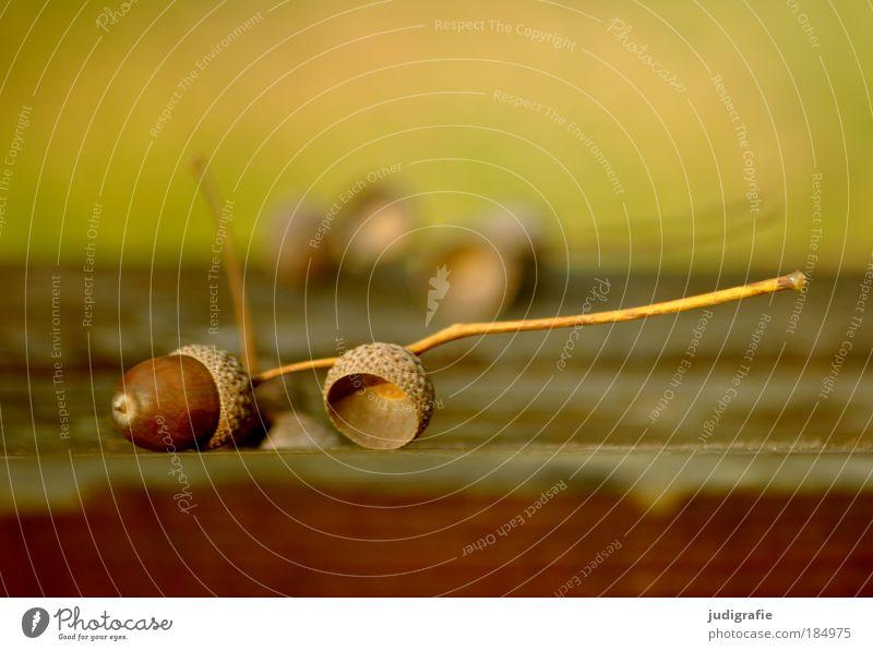 Herbst Natur Pflanze braun gold liegen Vergänglichkeit Fruchtstand Eicheln