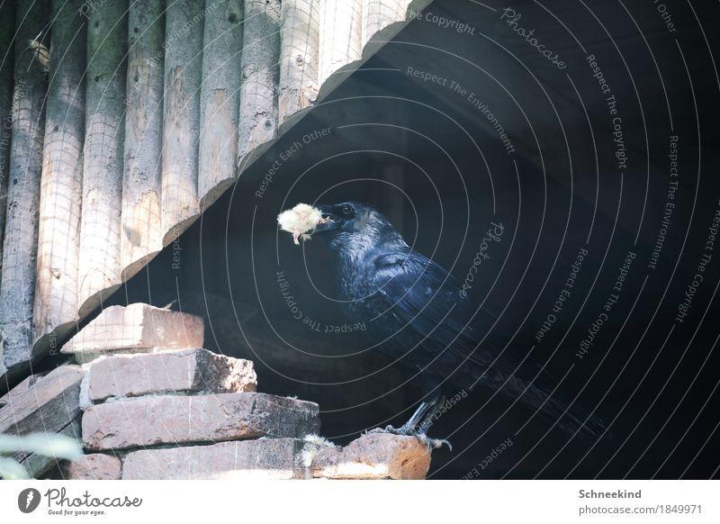 Futterzeit Natur Tier dunkel schwarz Umwelt Vogel fliegen Wildtier ästhetisch Flügel Schönes Wetter beobachten bedrohlich lecker Jagd Tiergesicht