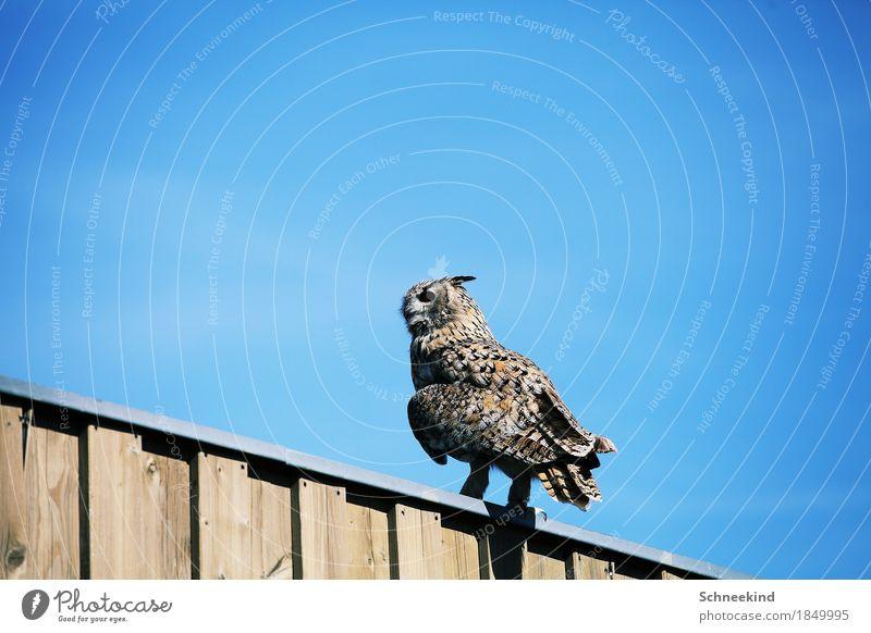 Der Vogel Jagd Umwelt Natur Landschaft Himmel Wolkenloser Himmel Sonne Tier Wildtier 1 beobachten füttern ästhetisch bedrohlich schön wild blau braun Uhu
